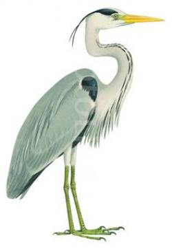 Blue Heron clipart