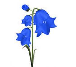 Bluebell clipart