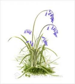 Bluebell clipart scottish