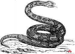 Drawn snake boa snake