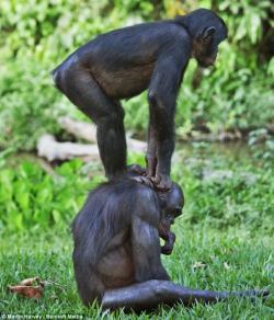 Bonobo clipart african animal
