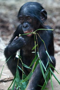 Bonobo clipart animal