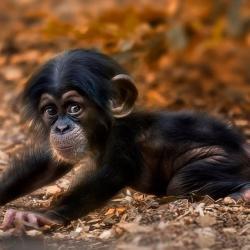 Bonobo clipart cute baby