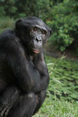 Bonobo clipart gorilla