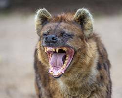 Bonobo clipart hyena