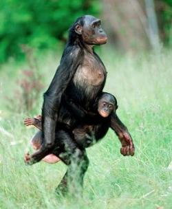 Bonobo clipart orangutan