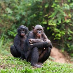 Orangutan clipart bonobo