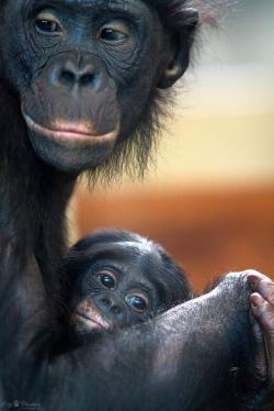 Bonobo clipart wild animal