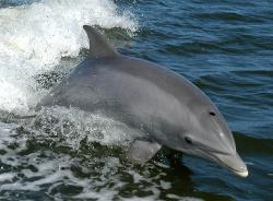 Bottlenose Dolphin clipart mediterranean