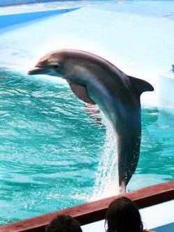 Spinner Dolphin clipart flipper