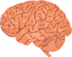 Brains clipart anatomy
