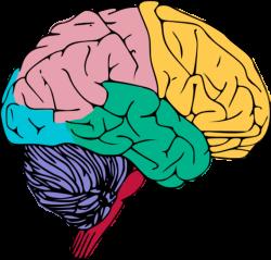 Brains clipart art png