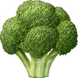 Broccoli clipart cabbage