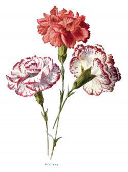 Vintage Flower clipart carnation