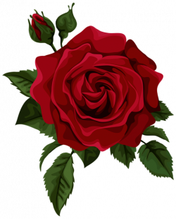 Drawn red rose