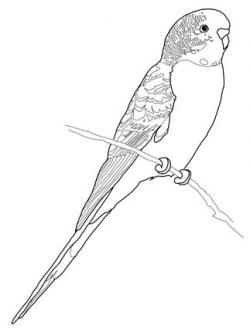 Budgie clipart black and white