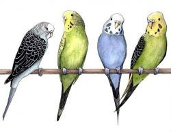 Drawn parakeet blue parrot