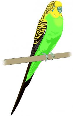 Budgie clipart