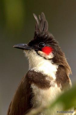 Bulbul clipart maya bird