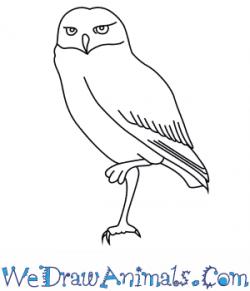 Drawn owl burrowing owl