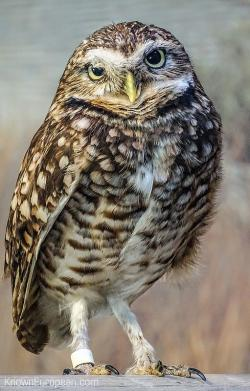 Burrowing Owl clipart digger