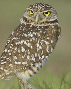 Burrowing Owl clipart owl nest
