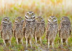 Burrowing Owl clipart sad