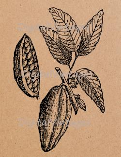 Cacao clipart vintage