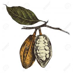 Coffee Plant clipart cocoa bean