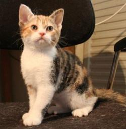 Calico Cat clipart american wirehair