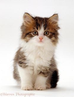 Calico Cat clipart baby cat