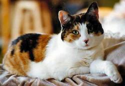 Calico Cat clipart three
