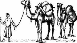 Drawn camels