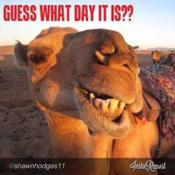 Camels clipart hump day camel