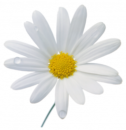 Chamomile clipart png format