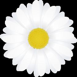Camomile clipart camomile flower