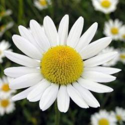 Camomile clipart national flower