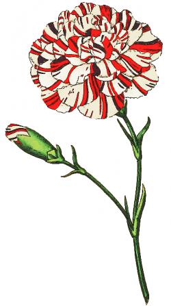 Bud clipart carnation