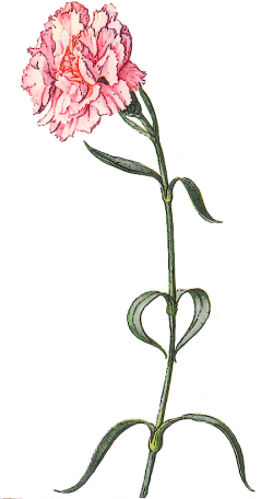 Pink Flower clipart carnation flower