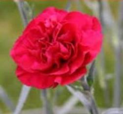 Carnation clipart scarlet carnation