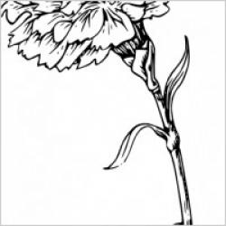 Carnation clipart simple