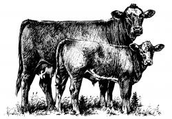 Beef clipart jersey cow