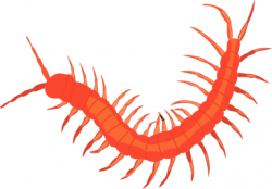 Centipede clipart insect