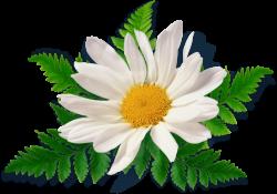 Chamomile clipart flower bokeh