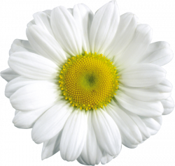 Camomile clipart transparent png