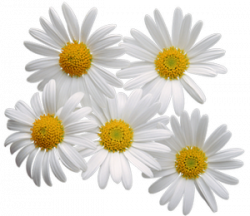 Camomile clipart png format