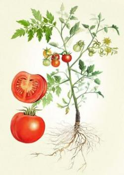 Drawn tomato botanical illustration