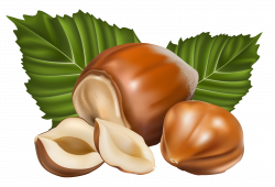 Hazelnut clipart Hazelnut Drawing
