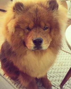 Chow Chow clipart anjing