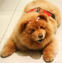 Chow Chow clipart funny